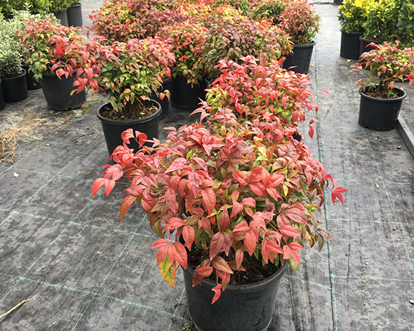 Nandina fire power 30 cm çap